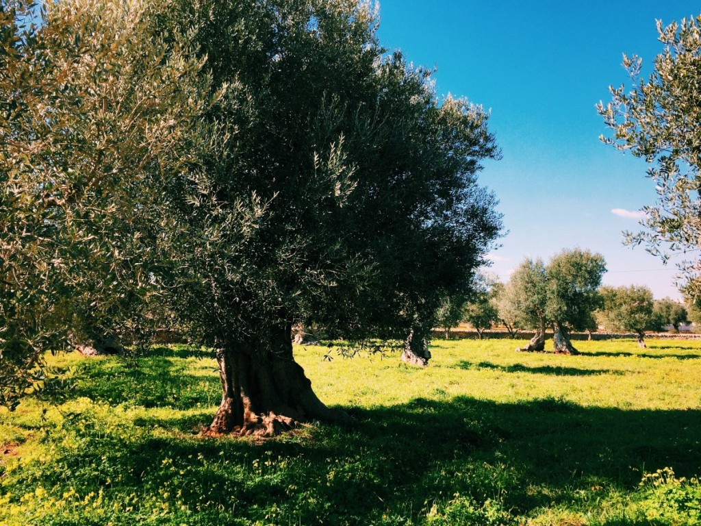 Olive trees, Puglia - copyright www.globalmousetravels.com
