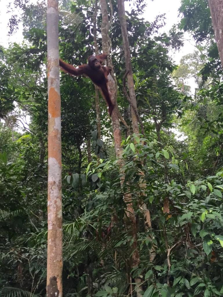 Meeting the orangutans of Borneo