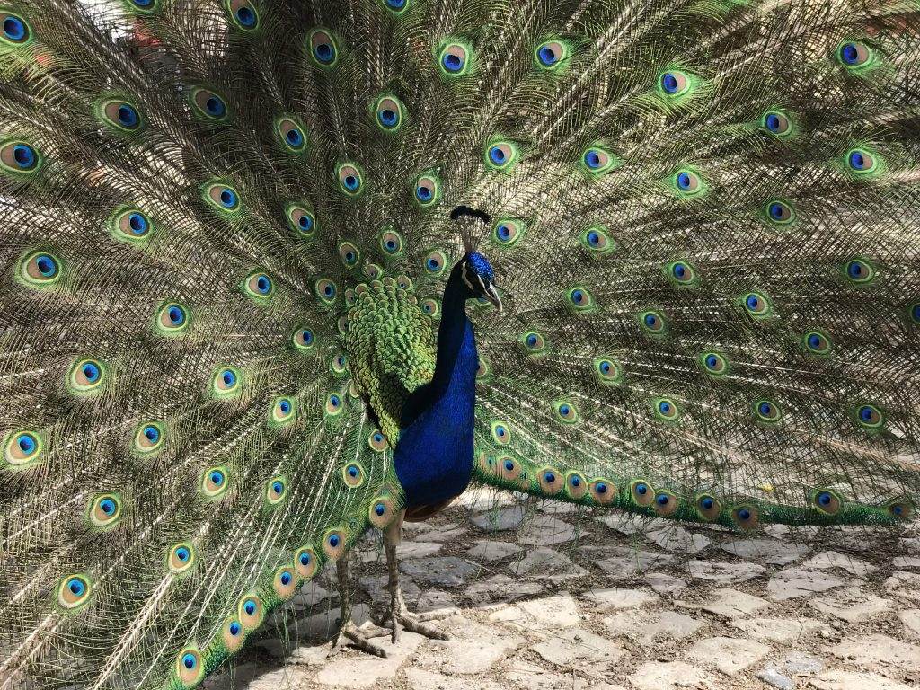 Peacocks at Castle de Sao Jorge - A spring weekend in Lisbon with kids, Portugal